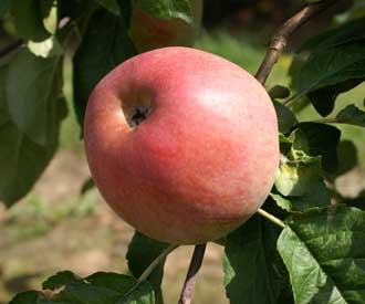 Apple - Emperor Alexander