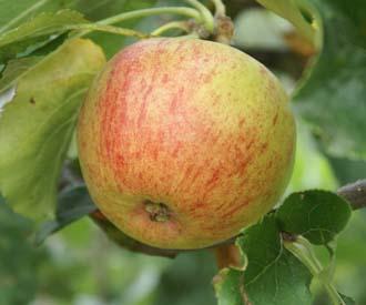 Apple - Laxton's  Epicure