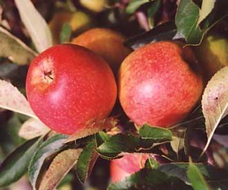 Apple - Red Falstaff