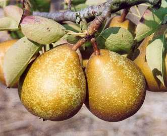 Pear - Improved Fertility