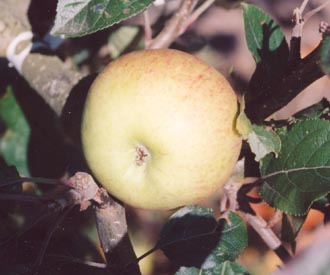 Apple - Fillingham Pippin