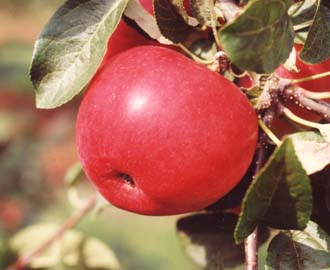 Apple - Laxton's Fortune