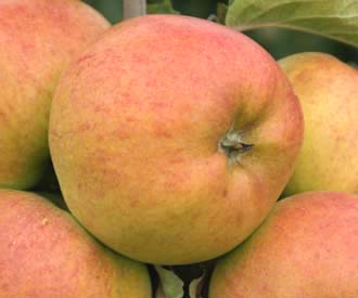 Apple - Freiherr von Berlepsch