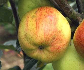 Apple - George Neal