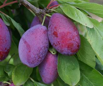 Plum - Giant Prune