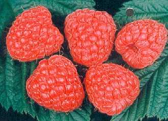 Raspberry - Glen Ample