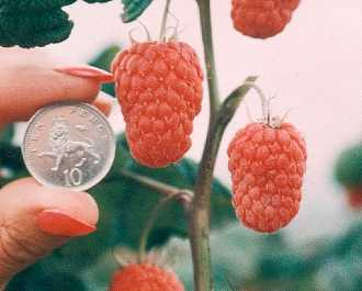 Raspberry - Glen Magna