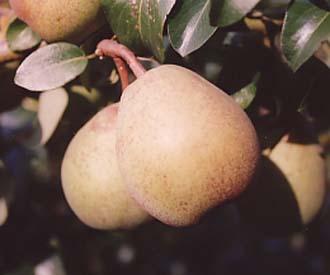 Pear - Glou Morceau