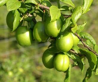 Cherry Plum - Gojeh Sabz