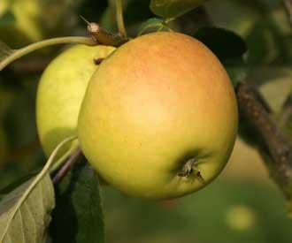 Apple - Nuvar® Gold