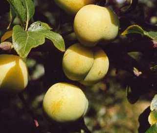 Plum - Goldfinch
