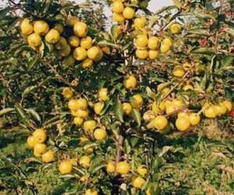 Crab Apple - Nuvar® Golden Elf