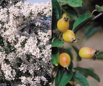 Crab Apple - Golden Gem