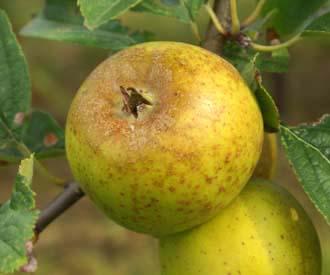 Apple - Golden Knob