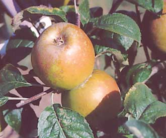 Apple - Golden Russet