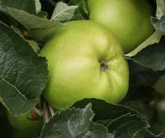 Apple - Gooseberry