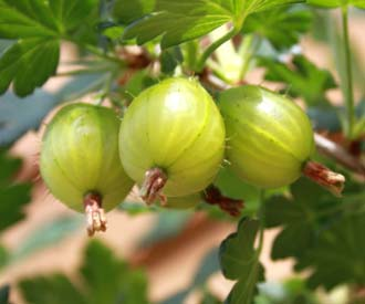 Gooseberry - Hinnonmaki Green