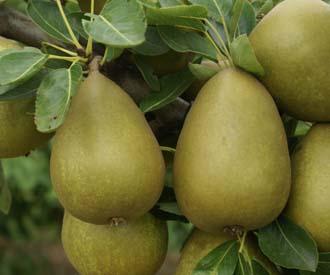 Pear - Gorham