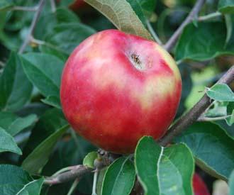 Apple - Gravenstein