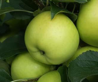 Apple - Greensleeves