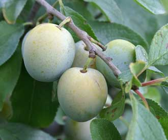 Plum - Late Greengage