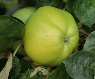Apple - Grenadier
