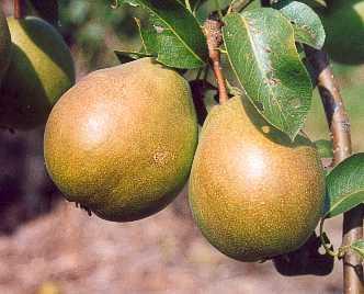 Pear - Green Pear of Yair
