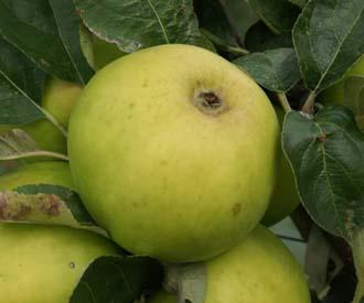 Apple - Hambling's Seedling