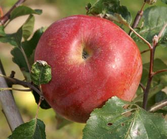 Apple - Hannan Seedling