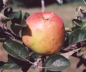 Apple - Hanwell Souring