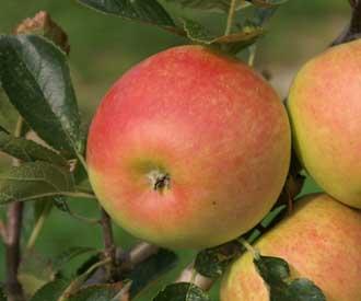 Apple - Harry Pring