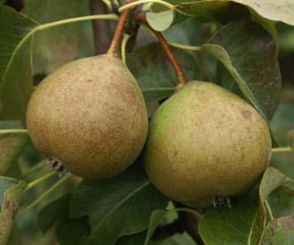 Pear - Hellen's Early