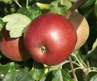 Apple - Herefordshire Beefing
