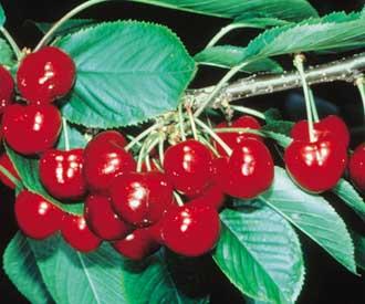 Cherry - Hertford