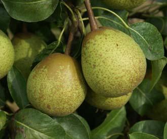 Pear - Hessle
