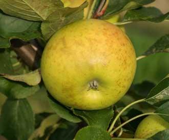 Apple - Nuvar® Home Farm