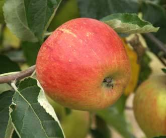 Apple - Honey Pippin