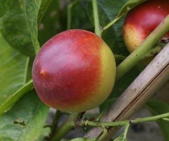 Nectarine - Humboldt