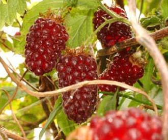 Hybrid Berry - Medana Tayberry