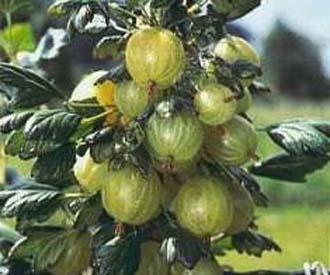 Gooseberry - Invicta