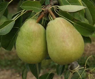 Pear - Invincible® delwinor