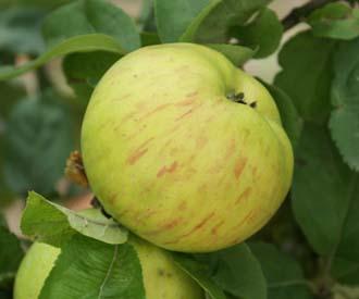 Apple - Jacques Lebel