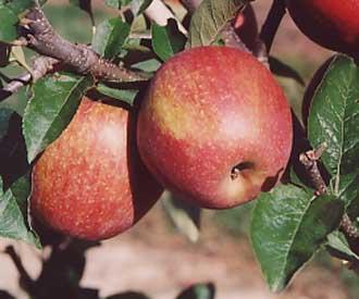 Apple - Jonagored