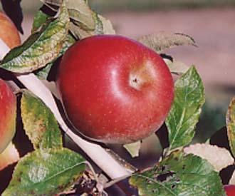 Apple - Jonathan