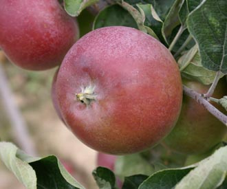 Apple - Kentish Quarrenden