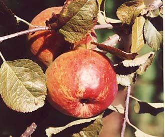 Apple - Kent