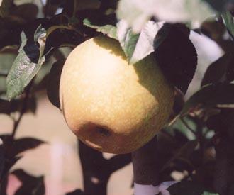 Apple - King Charles Pearmain