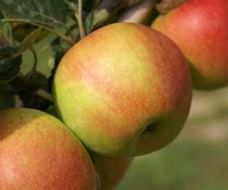 Apple - Lady Isabel