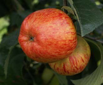 Apple - Lady Sudeley