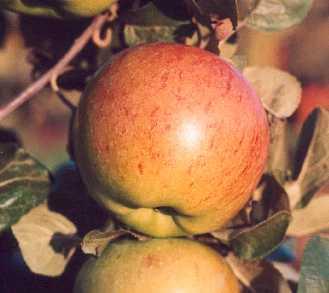 Apple - Lane's Prince Albert